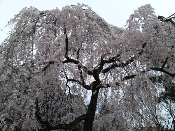 130324糸桜②