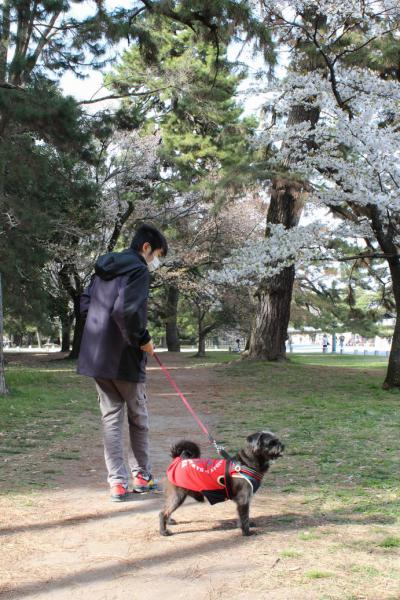 130401御所お花見散歩11