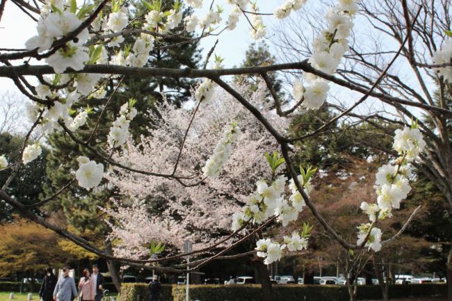 130401御所お花見散歩08