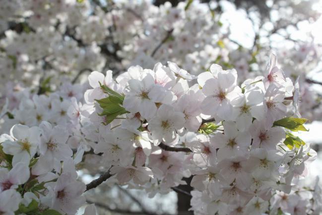 130401御所お花見散歩14