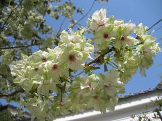 130410御衣黄桜④