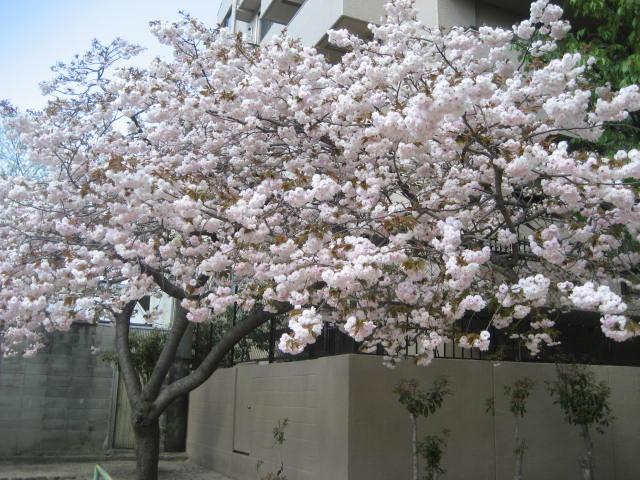130410八重桜①