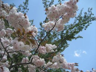 130410八重桜④