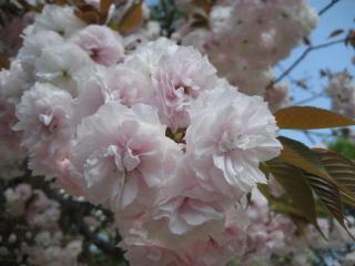 130410八重桜③
