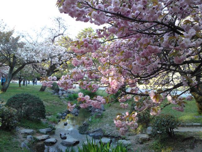 130413御所・出水の小川の桜②