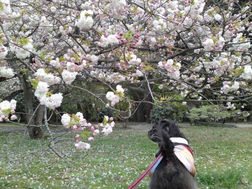130411御所・出水の小川の桜①