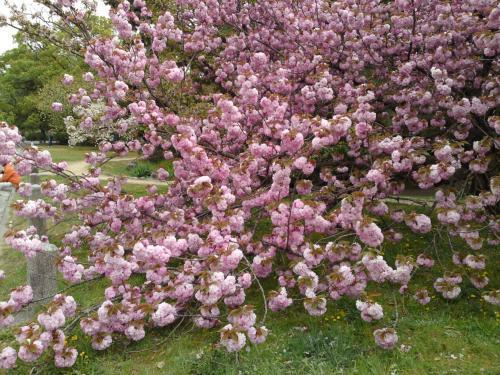 130416御所・出水の小川の桜④