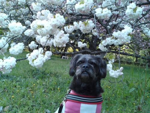 130413御所・出水の小川の桜④