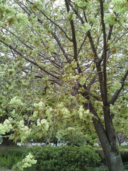 130416御所・出水の小川の桜②御衣黄