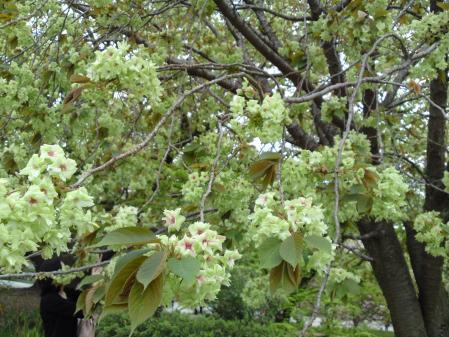 130416御所・出水の小川の桜①御衣黄
