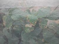 枝豆枯れ途中