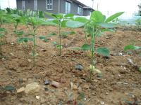 新枝豆成長中