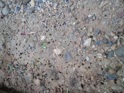 イモムシの糞