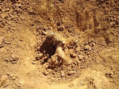 自然薯掘り2012a
