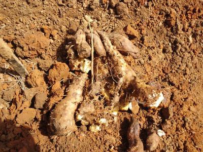 自然薯掘り2012b