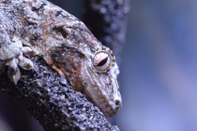マモノミカドヤモリ