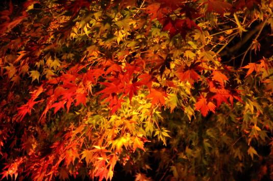 紅葉 もみじ回廊 ライトアップ もみじアップ