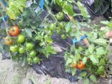 自家菜園①
