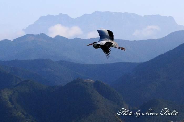 アオサギ(青鷺)と石鎚山 中山川大橋 鷺のコロニー 愛媛県西条市小松町