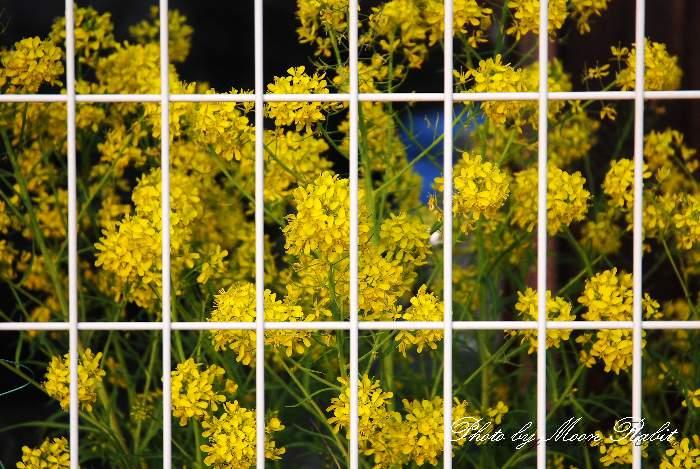 ときめき水都市本店隣家の菜の花 愛媛県西条市神拝甲487-4