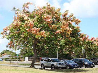 ハワイシャワーツリー2