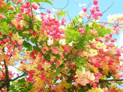ハワイシャワーツリー1