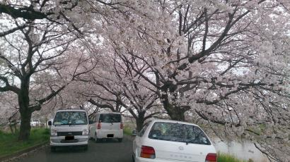 20130330 桜1