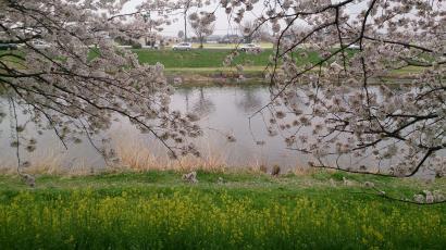 20130330 桜2