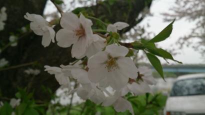 20130330 桜3