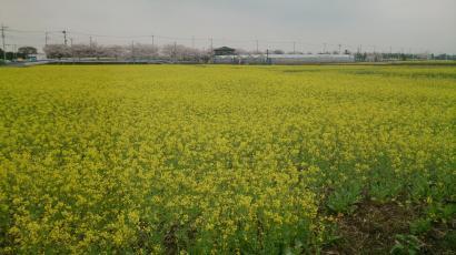 20130330 菜の花畑