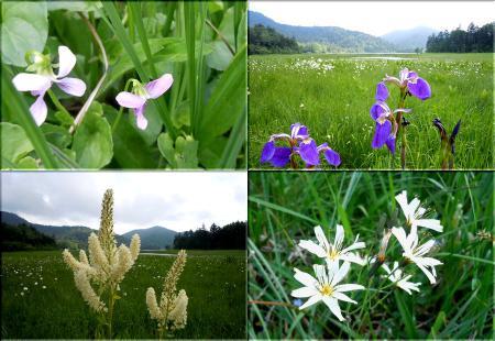 尾瀬の花々 その1