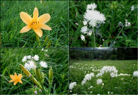 尾瀬の花々 その2