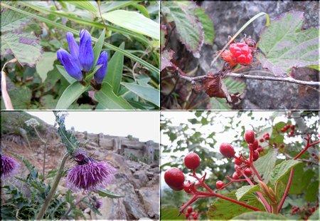 谷川岳に咲く花たち