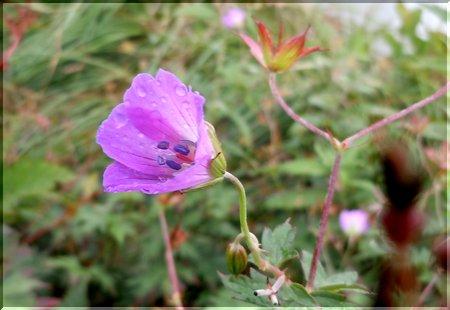 谷川岳に咲く花