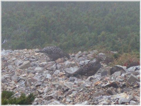 雷鳥とご対面@爺ヶ岳 北峰付近