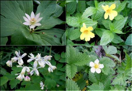 燧ケ岳の花々 その3