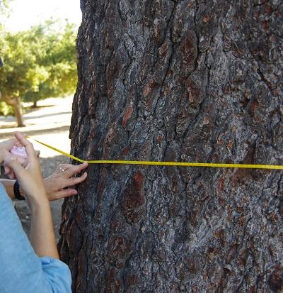 20141014樹を計る1