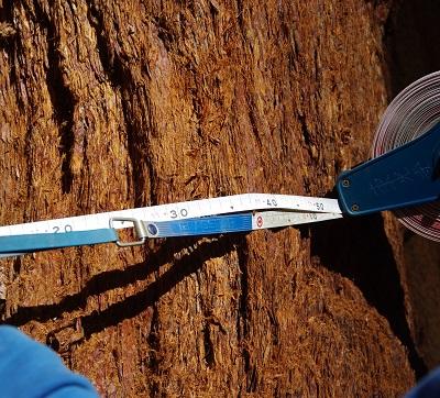 20141009樹を計る3