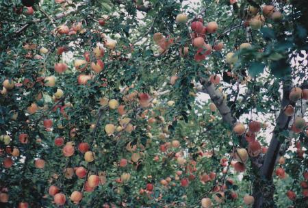 ブログりんご2