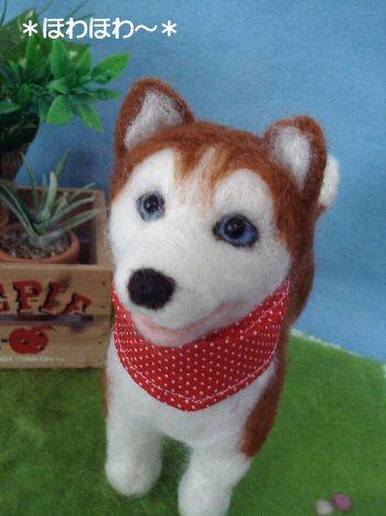 ハスキーちゃん成犬1
