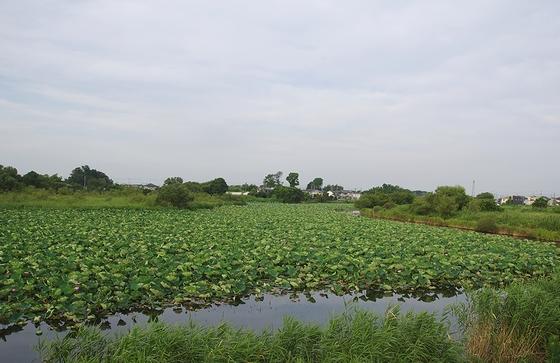 城沼-ハス全体