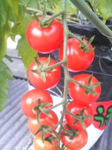 miuトマト2
