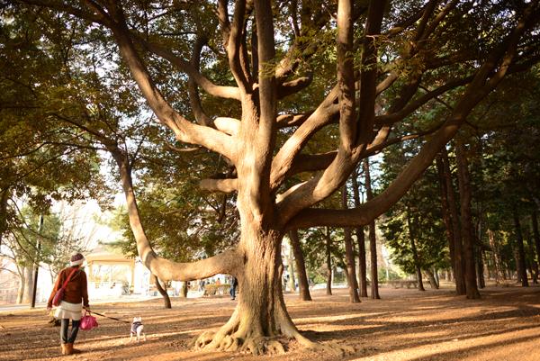 よよぎの大きい木