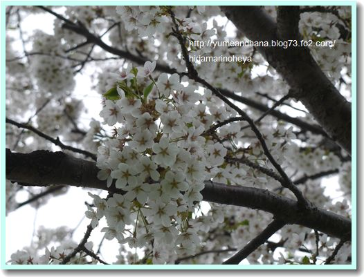 桜1204085