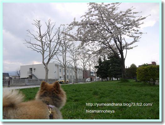 桜120408
