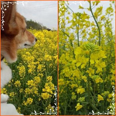 愛牧の菜の花