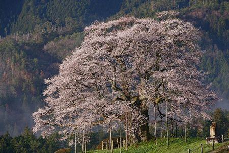 okayamakenn daigosakura