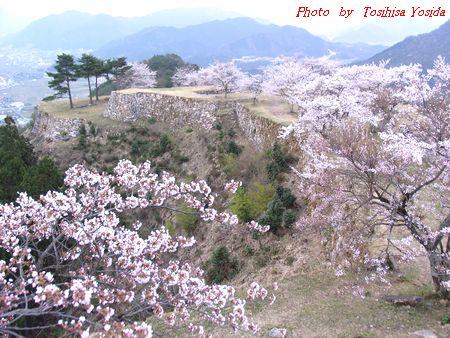 竹田城 桜