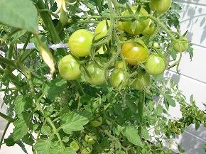 2012.8プチトマト