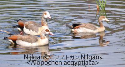 Nijlgans (Alopochen aegyptiaca) Corrage 05